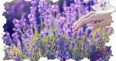 Шалфей лечебные свойства и противопоказания